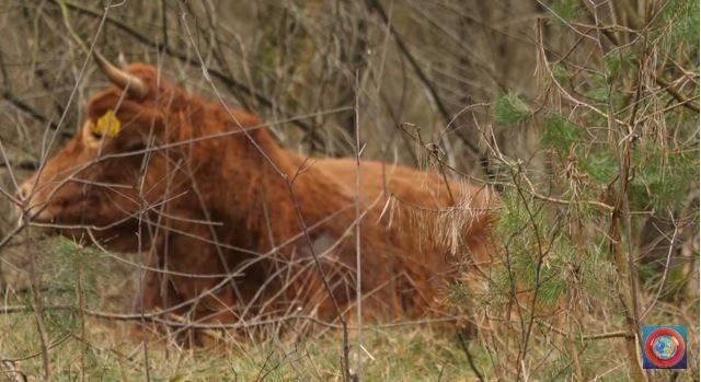 Perierga.gr - Αγελάδα δραπετεύει πριν τη σφαγή της και γίνεται viral